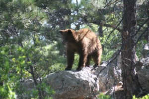 bear standing on rock
