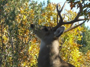 maryloujanocko.deer.2